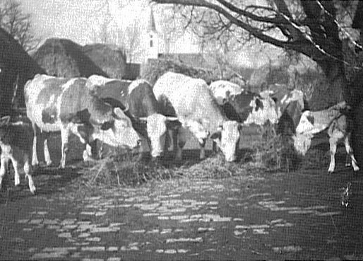 Cattle in the yard of Johann & Maria Binder House #288 in the background the church steeple is visible<br> Click to enlarge